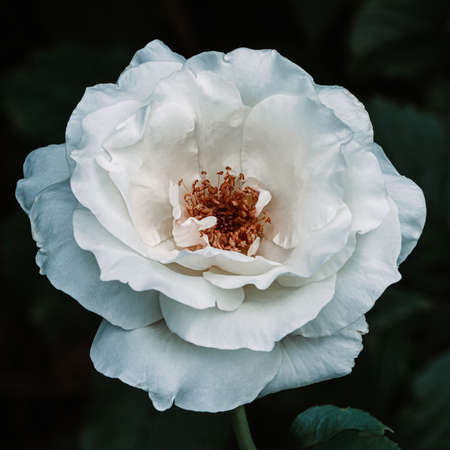 White rose in the garden, closeup with detailed petals