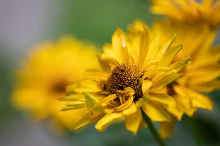 Doronicum grandiflorum flower head closeup