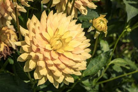Yellow dahlia in the summer flower graden 版權商用圖片