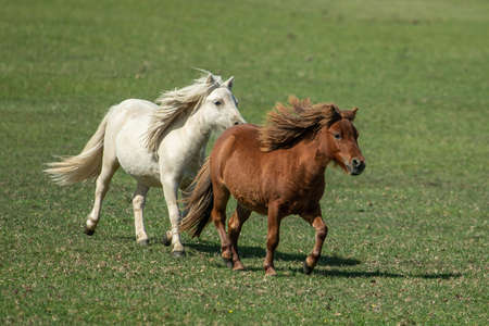 Two beautiful pony horses run across a meadow