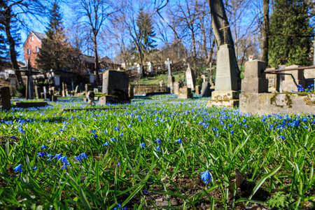 Vilnius, Lithuania - April 14, 2019: Blue flowers in the Bernardine Cemetery, one of the three oldest cemeteries in Vilnius, Lithuania. Focus on flowers.