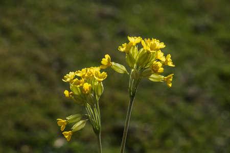 Common cowslip (Primula veris) in the spring garden