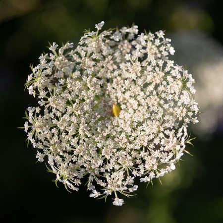 Milk-parsley (Peucedanum palustre) in the meadow