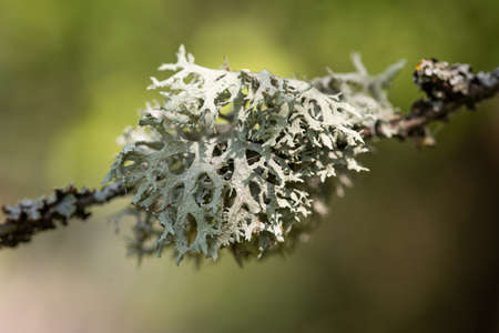 Tree moss (Pseudevernia furfuracea) growing on the twig of a tree