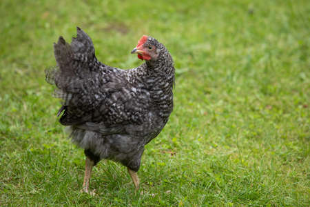 Free range chicken on a traditional poultry farm, hen on the grass