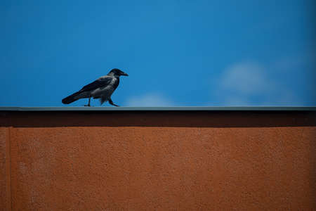 Hooded crow (Corvus cornix) walking on the orange wall, urban bird
