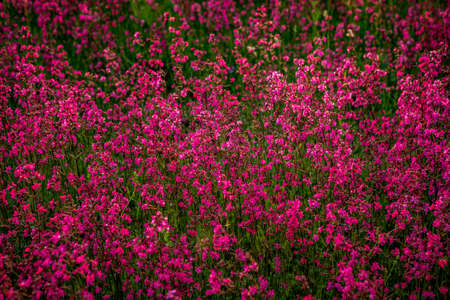 Clammy campion (Lychnis viscaria) flowers in the summer evening Stock Photo