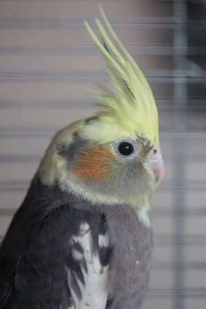 Cockatiel (Nymphicus hollandicus), a grey and yellow companion parrot