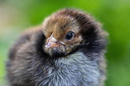 Cute little chicken portrait againtst the green garden bokeh Zdjęcie Seryjne