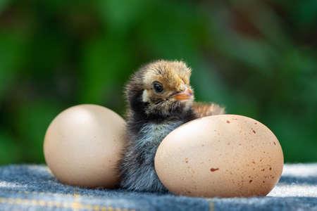 Cute little chicken  and two eggs againtst the green garden bokeh Zdjęcie Seryjne
