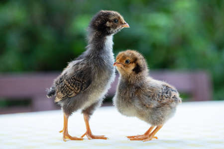 Two cute little chickens againtst the green garden bokeh