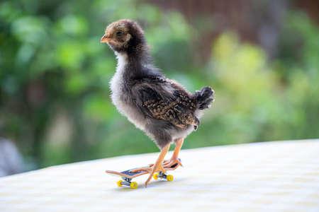 Cute little chicken standing on a tiny skateboard