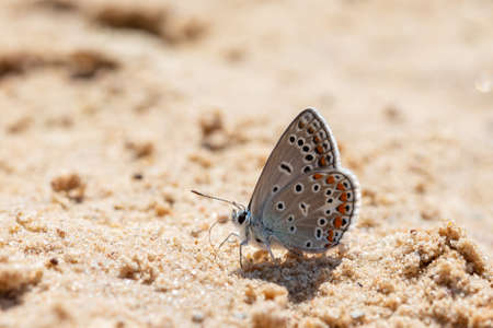 Common blue butterfly (Polyommatus icarus) on the sand