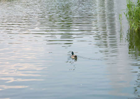 Duck floating in the city pond