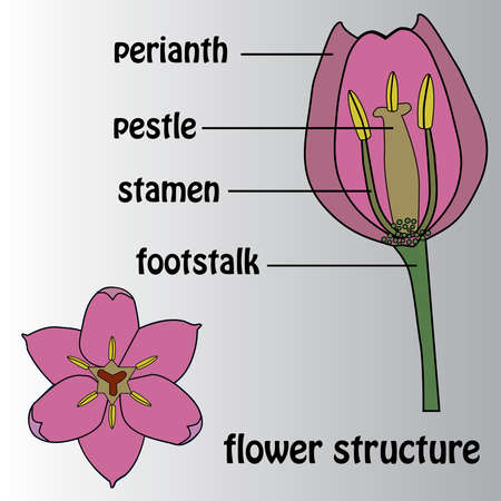 Poster on the theme of the flower structure. Botany. Иллюстрация