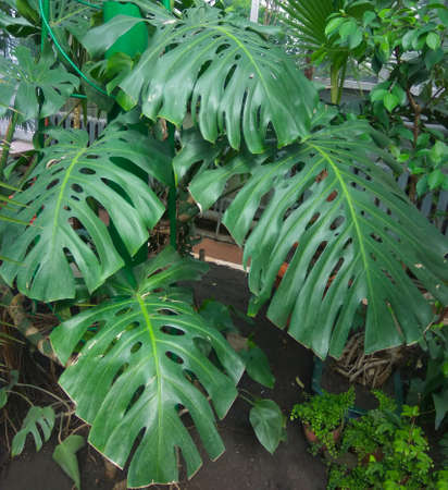 Dark green leaves of monstera or split-leaf philodendron Monstera deliciosa the tropical foliage plant growing