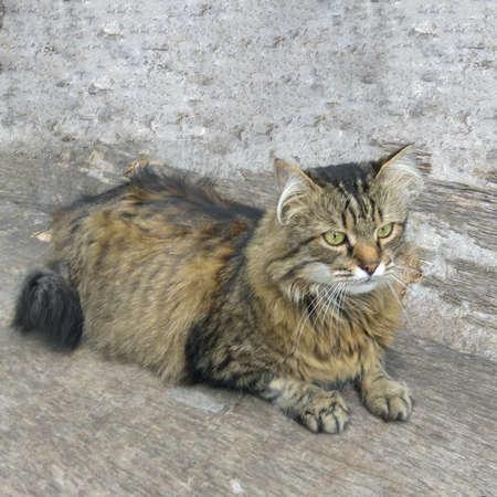 Siberian big cat siting on a fence Фото со стока