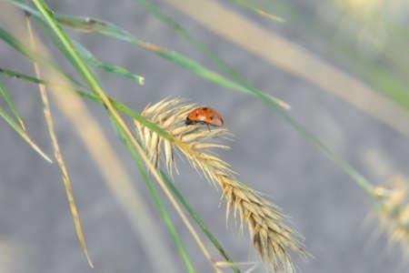 The ladybug sits on a yellow spikelet. Фото со стока