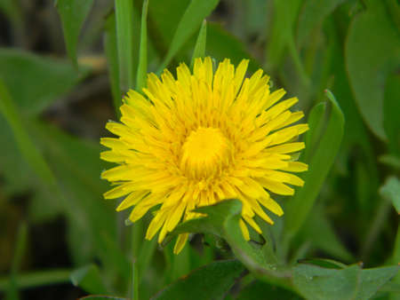 A young dandelion in the forest. Begins to open spring heat.