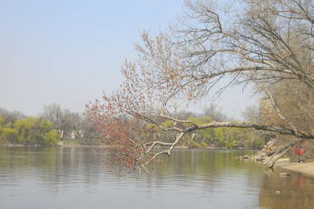Flowering branch with blooming buds. The wide river Dnieper.