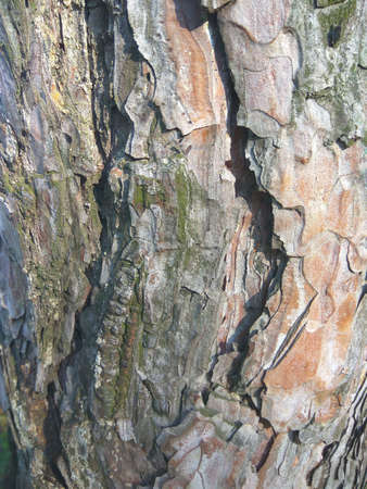 Texture of tree bark. Macro photo of a living tree near. Foto de archivo