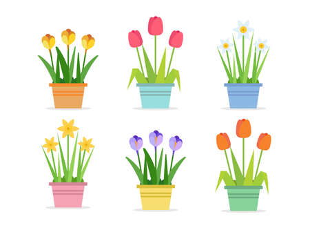 Spring flowers - set of vector illustrations in flat style with different flowers in pots. Tulips, Narcissus, Crocus 矢量图像