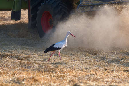 A stork at the harvest