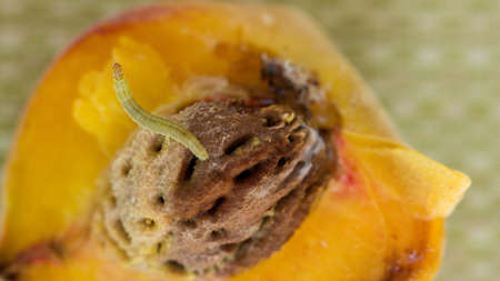 Summer Fruit and a Worm