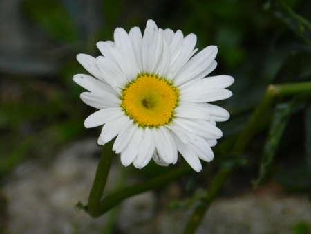 sun flower: White Sun flower