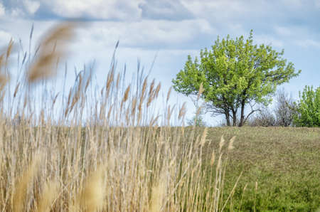 vacant land: Alone tree with yellow grass and white clouds on sky. Stock Photo