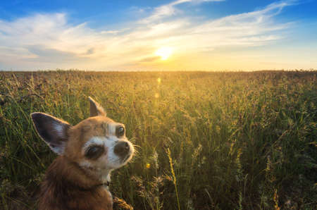 rotates: Small chihuahua dog enjoying golden sunset in grass. It stands back to camera and looks to it rotates its head on colorful field and looks to horizon. Blue sky and white clouds around. Picture is shot from down position. Stock Photo