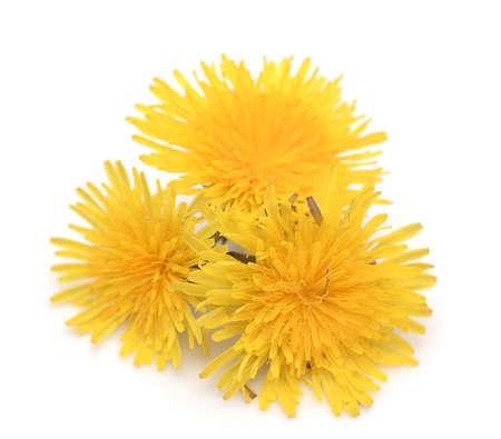 Yellow dandelion isolated