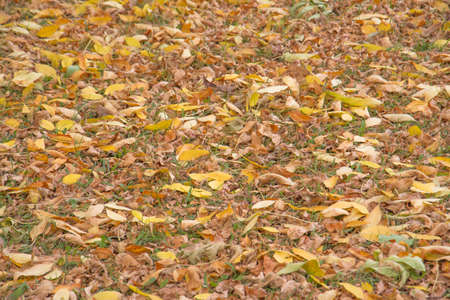 Colorful backround or texture image of fallen autumn leaves
