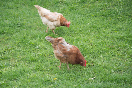 Two hens on green grass Imagens