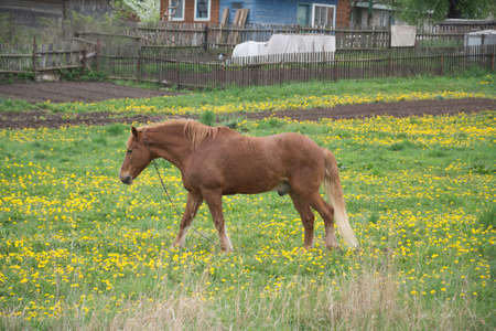 Brown horse stallion on the green grass in the Russian village