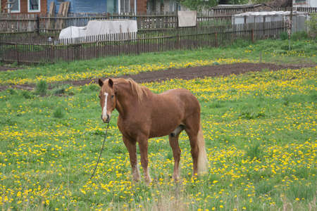 Horse on green grass in a Russian village