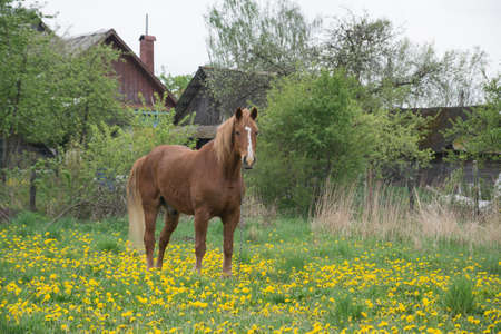 Red horse with long mane in flower