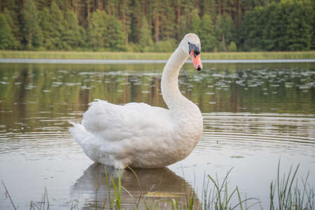 white swan swims in a forest lake, wildlife concept