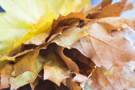 yellow maple leaves bouquet in female hands 免版税图像