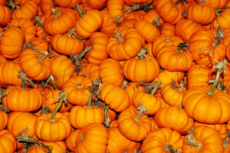 Large bunch of small pumpkins in the fall Stock Photo - 20153393