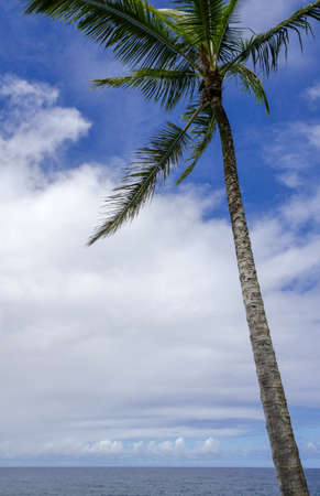 twisty: Maui coastline with palm tree blowing in the wind
