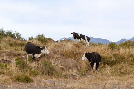 Patagonian cows grazing on a hillside with mountains in the background