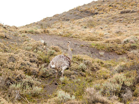 Nandu roaming in the patagonian wild near Torres del Paine