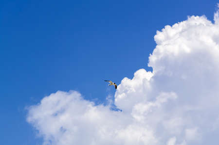 Sea birds flying against blue sky and clouds. Suitable for portrait or landscape backgrounds with sufficient area to permit cropping to show coming or going. Stock Photo