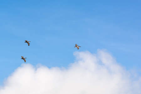 sufficient: Sea birds flying against blue sky and clouds. Suitable for portrait or landscape backgrounds with sufficient area to permit cropping to show coming or going. Stock Photo