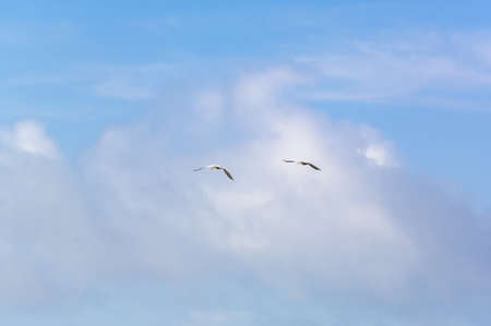 fanned: Sea birds flying against blue sky and clouds. Suitable for portrait or landscape backgrounds with sufficient area to permit cropping to show coming or going. Stock Photo