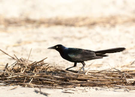 Black bird guarding twigs on the beach