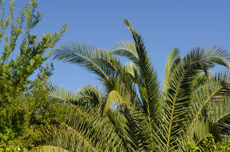 Palm leaves contrasted against a clear blue sky.  Great when peaceful or tropical backgrounds are desired.