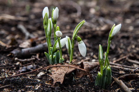 snowdrops: Spring flowers - snowdrops