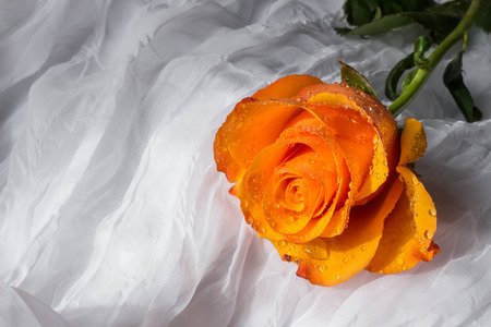 Orange rose with water drops - white background